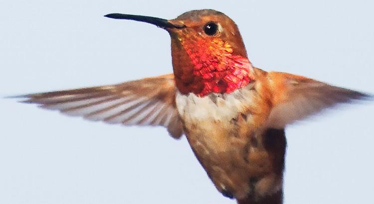 Hummingbird asocialman